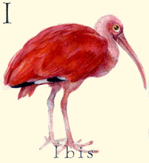 I - the ninth letter in the Animal Alphabet - is for Ibis