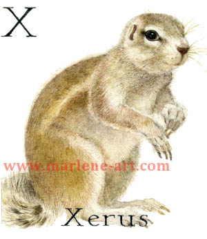X - the 24th  letter in the Animal Alphabet-is for Xerus